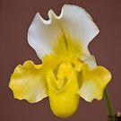 Hong Kong Orchid 1 by David Clarke