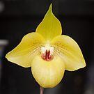 Hong Kong Orchid 3 by David Clarke