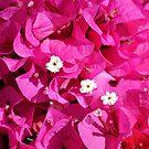 Bougainvillea in bloom by jozi1