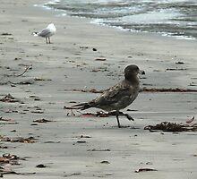 Bruny Gulls by mark7b