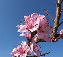 Peach flowers by jean-louis bouzou