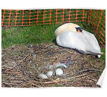 Protection for Swan and her eggs....... Poster
