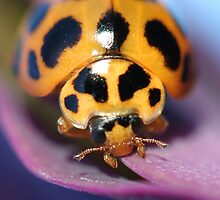 Yellow ladybug (close-up) by Rick Fin