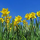 Daffodil Delight by Kat Simmons