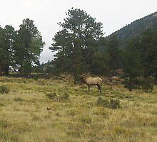 Rocky Mountain National Park Bull Elk Bugling by janetmarston