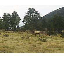 Rocky Mountain National Park Bull Elk Bugling Photographic Print