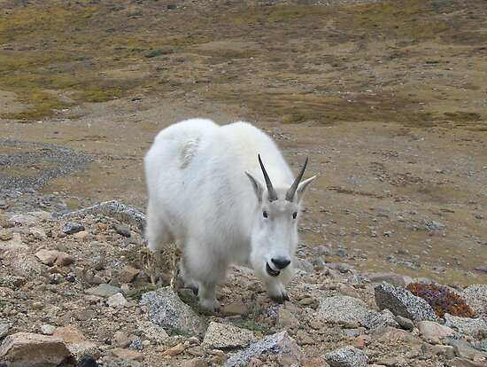 Summit Lake Neighborhood Watch Program - Mt Evans Rocky Mountain Goat by janetmarston