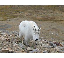 Summit Lake Neighborhood Watch Program - Mt Evans Rocky Mountain Goat Photographic Print