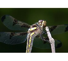 Twelve spotted skimmer. Photographic Print