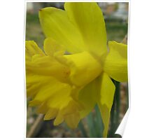 Dreamy Daffodil Poster