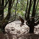 Young wallaby watching me by Maggie Hegarty