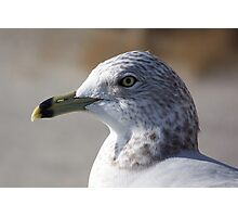 Ring-Billed Seagull. Photographic Print
