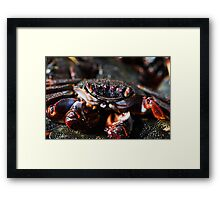 Cooked crab Framed Print