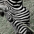 Zebra by Michael Walker