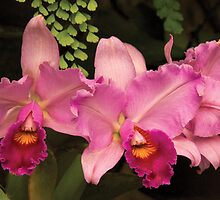 Cattleya - Magenta Spledor by Mike  Savad