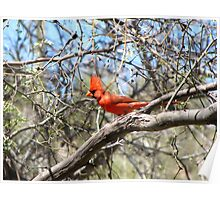 Northern Cardinal ~ Male Poster