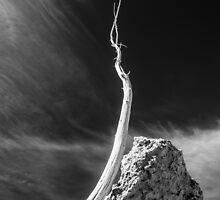 Branch, brined and bleached. Mono Lake, Ca  by SK Lorenzen