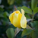 The Rose by Michael Walker