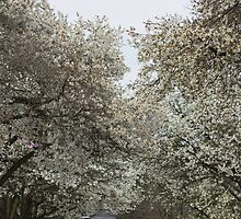 Whither white blossoms? by Rod Raglin
