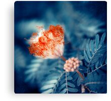 Acacia Flower Canvas Print