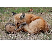 Young Red Fox in Algonquin Park, ON, Canada Photographic Print
