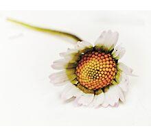 daisy platoon Photographic Print