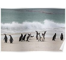 Magellanic Penguins Coming up the Beach Poster