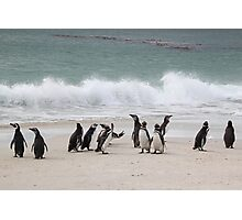 Magellanic Penguins Coming up the Beach Photographic Print