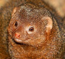 Mongoose.......... by jdmphotography