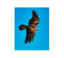 Whistling Kite Art Print