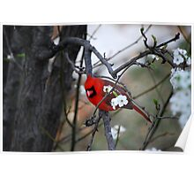 Cardinal looking stylish with pear blossoms. Poster