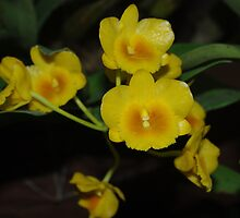 Dendrobium lindleyi Steud (wild orchid) by Rainy