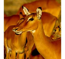 Impala Photographic Print