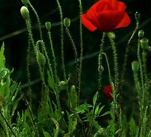 poppies in a nighty garden by Proyecto Insólito