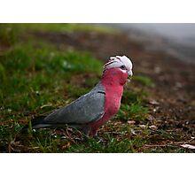 Pink Galah Photographic Print