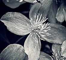 Clematis in Monochrome by Vicki Field