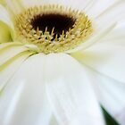 Macro - Gerbera from Bouquet by EdsMum