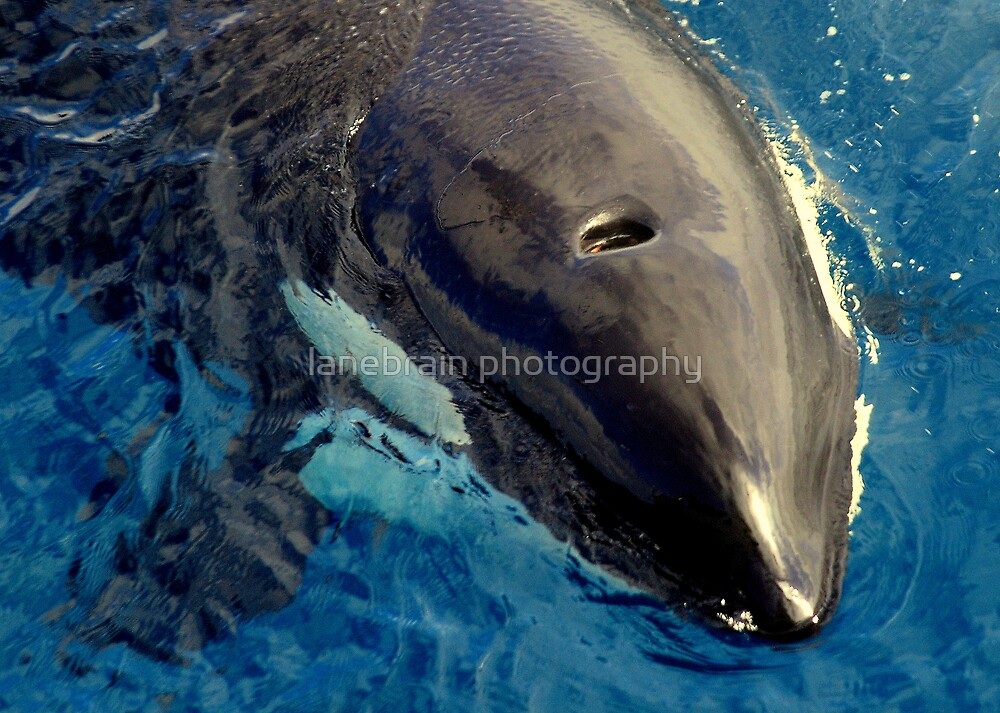 Up Close ~ Killer Whale #11 by lanebrain photography
