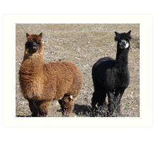 A Pair of Alpacas Art Print
