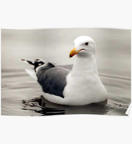 California Dreaming (California Gull) Poster