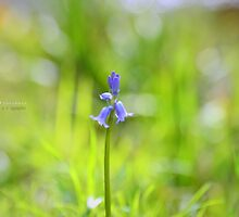 """"""" Lonely Bluebell """" by Richard Couchman"""
