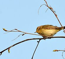 Chiffchaff - Phylloscopus collybita by Chris Monks