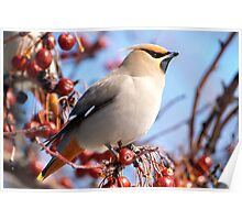 A Poised Bohemian Waxwing  Poster