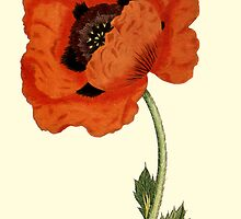 Oriental Poppy Flower Botanical by Zehda