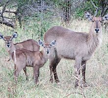 Waterbuck Watching by Ludwig Wagner