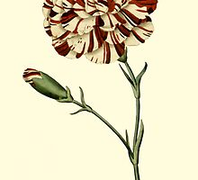 Pink Carnation Flower Botanical by Zehda