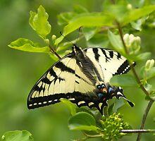 The Resting Swallowtail by DigitallyStill
