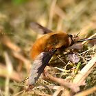 """"""" Bee - Fly """" by Richard Couchman"""