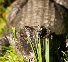 Gator by Susan Gottberg