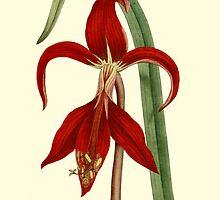 Amaryllis Flower Botanical Art by Zehda